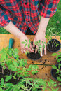 Tomato seedling woman planting young Royalty Free Stock Image