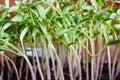 stock image of  Tomato seedlings, closeup
