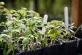 Tomato seedlings. Royalty Free Stock Photo