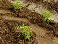 Tomato seedlings growing on a vegetable bed Royalty Free Stock Photos