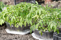 Tomato seedlings outdoors sunny spring day Royalty Free Stock Image