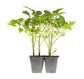 Tomato seedlings ready for transplanting Royalty Free Stock Photos