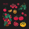 Tomato varieties, hand drawn set on black background. branch, flowers, bush, part in a cut. Colorful vector illustration