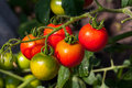 Tomato on vegetable garden Royalty Free Stock Photo