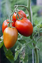 Tomato on vine Royalty Free Stock Photo