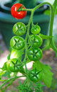 A Tomato Vine with Red and Green Tomatoes Royalty Free Stock Photo