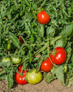 Tomato vine with red tomatoes Royalty Free Stock Photo