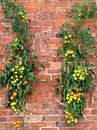 Tomato vines growing up a wall in a traditional walled garden Stock Images