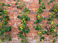 Tomato vines growing up a wall in a traditional walled garden Royalty Free Stock Photography