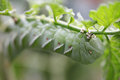 Tomato worm on plant caterpillar pest a Royalty Free Stock Photo
