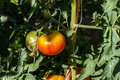 Tomatoe in plant photography of Stock Image