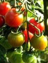 Tomatoes 14 Stock Image