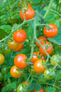 Tomatoes from the garden cluster in Royalty Free Stock Photo