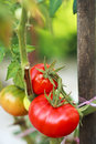 Tomatoes in the garden vegetables Royalty Free Stock Image