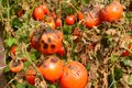Tomatoes get sick by late blight. Phytophthora infestans Royalty Free Stock Photo