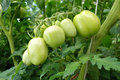 Tomatoes green Royalty Free Stock Image