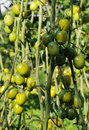 Tomatoes green Stock Photography