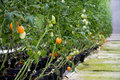 Tomatoes Growing in a Commercial Greenhouse with Hydroponics Royalty Free Stock Photo