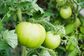 Tomatoes growing in a greenhouse green hanging on a vine Royalty Free Stock Photo