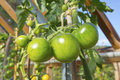 Tomatoes growing in a greenhouse small cluster of green ripenning green house Stock Photos