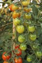 Tomatoes grown in a horticulture