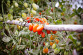 Tomatoes hanging on tree Royalty Free Stock Photo
