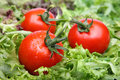 Tomatoes on lettuce Royalty Free Stock Photo