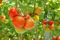 Tomatoes ripe on a branch in a greenhouse Royalty Free Stock Photo
