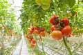 Tomatoes ripe in the greenhouse Royalty Free Stock Photo