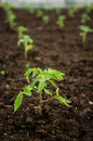 Tomatoes seedling in the garden planted tomato Stock Photography