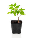 Tomatoes seedlings in a pot Royalty Free Stock Photo