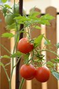Tomatoes on stalk red and green tomatos growed terrace fence planks in background Royalty Free Stock Photo