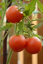 Tomatoes on stalk red tomatos growed terrace fence planks in background Stock Image