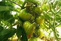 Tomatoes on tree Royalty Free Stock Photo