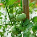 Tomatoes are on the tree Royalty Free Stock Photo
