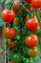 Tomatoes on the Vine Vertical Royalty Free Stock Photo