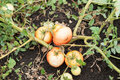 Tomatos damaged by tomato rot and drought in the garden Stock Image