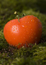 Tomatos on the moss Royalty Free Stock Photography