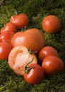 Tomatos on the moss Royalty Free Stock Images