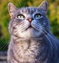 Tomcat Royalty Free Stock Photo