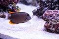 Tomini Tang fish Ctenochaetus tominiensis Royalty Free Stock Photo