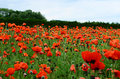 Tomita farm in june orange flowers field Stock Photos