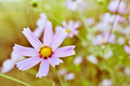 Toned macro image of a single purple cosmos flower wide aperture used Stock Photo