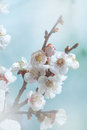 Toned spring blossoms tree Stock Image