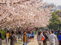 Tongji university cherry blossom festival shanghai march Stock Photo
