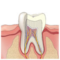 Tooth anatomy. Vector illustration. Royalty Free Stock Photo
