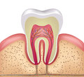 Tooth cross section healthy white gums and bone illustration detailed anatomy Royalty Free Stock Images