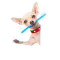 Toothbrush dog chihuahua holding a with mouth behind a blank banner or placard isolated on white background Stock Images
