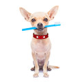 Toothbrush dog chihuahua holding a with mouth isolated on white background Royalty Free Stock Photo