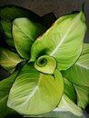 Top view tropical green leaf
